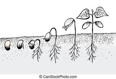 feijão, semente, germinação