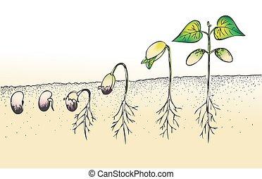 feijão, semente, isolado, germinação