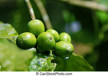 feijões café, planta