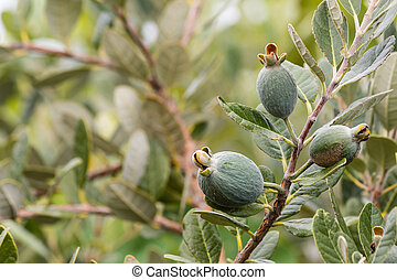 feijoa tree with fruit - feijoa tree with unripe fruit