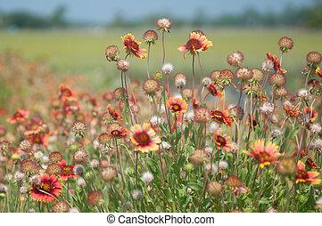 Feild of Flowers