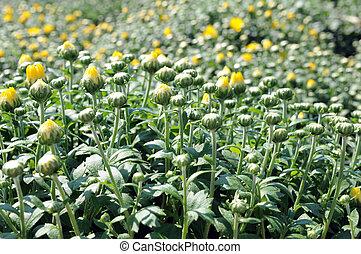 feild of mums flowers