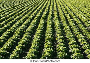 fejes saláta, mező, alatt, spain., zöld, detektívek, kilátás