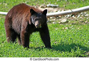 fekete, bear.
