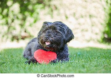 fekete, havanese, kutya, noha, piros szív, helyett, valentines nap
