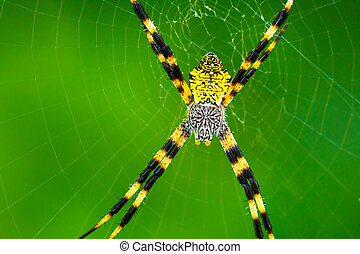 fekete, kert, sárga, pók