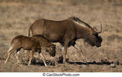 fekete, wildebeest