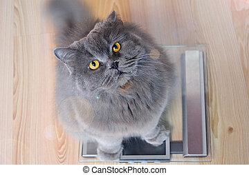 feláll., szürke, fogalom, cat., mér lekapar, brit, nagy, hosszúhajú, diéta, macska, ünnepek, hájasság, lát, közben, év, új, őt ül, elér