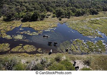 felülnézet, közül, elefántok, -, okavango delta, -, botswana