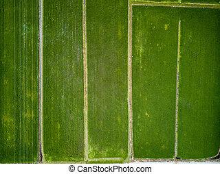 felülnézet, -, zöld, hántolatlan rizs, megfog