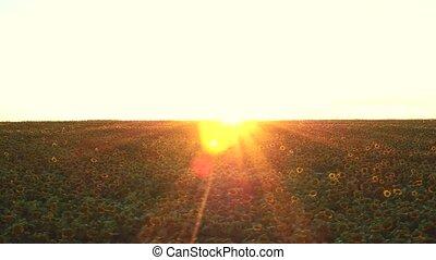 Feld, aus, flug, Sonnenblumen