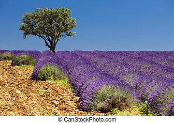 feld, baum, lavendel, provence, frankreich