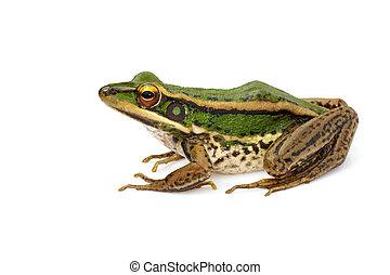 feld, bild, frosch, oder, hintergrund., amphibian., grün,...