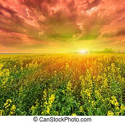feld, blühen, sonnenuntergang, canola