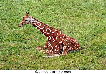 feld, giraffe