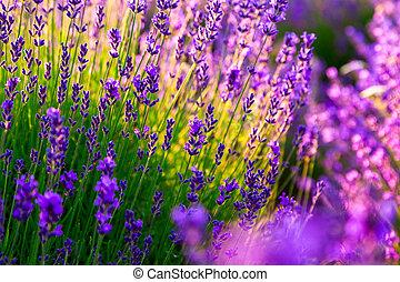 feld, lavendel, tihany, ungarn