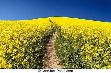 feld, napus), (brassica, rapeseed