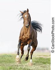 feld, pferd, läufe, frei