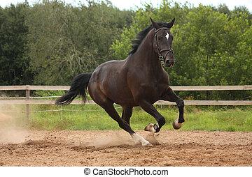 feld, pferd, schwarz, galoppieren, frei