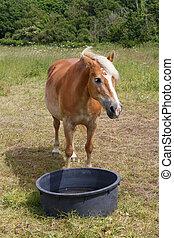 feld, pony, haflinger