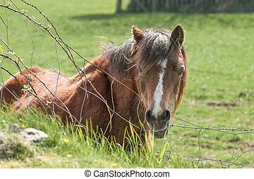 feld, pony