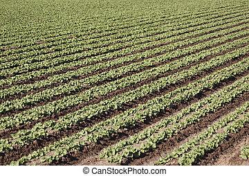 Feld, Reihen, junger, Kopfsalat