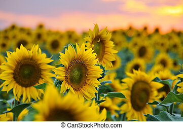 feld sonnenblumen