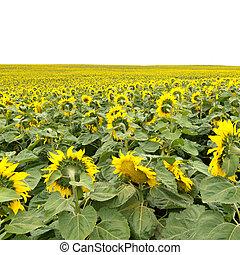 feld, sonnenblumen, horizont, gelber , blühen