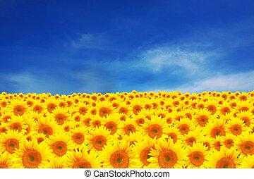 feld sonnenblumen, mit, schöne , anhaltspunkt, himmelsgewölbe
