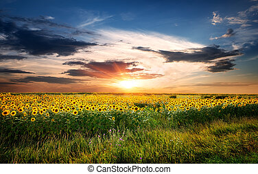 feld, sonnenblumen
