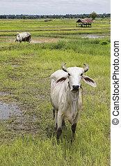 feld, thailändisch, landwirtschaftlich, inländisches vieh