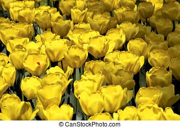 feld, von, goldenes gelb, tulpen