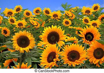 feld, von, hell, glücklich, sonnenblumen