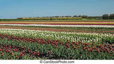 feld, von, mehrfarbig, tulpen