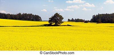 feld, von, rapeseed, -, pflanze, für, grün, energie