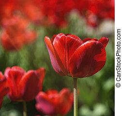 feld, von, rotes , blühen, tulpen, auf, a, sonniger tag
