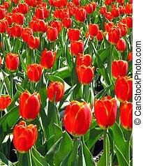feld, von, tulpen