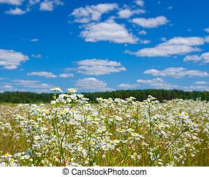 feld, von, weißes, gänseblümchen, in, sommer