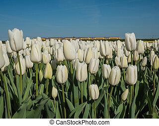 feld, von, weißes, tulpen