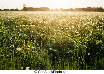 Feld, weißes, Löwenzahn, Sonnenuntergang