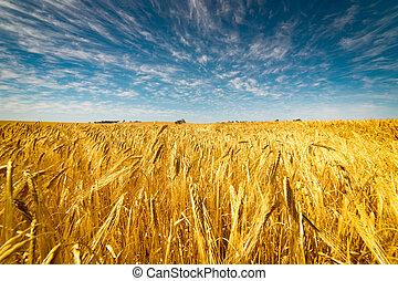 Feld, weizen, goldenes