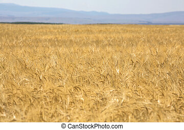 Feld, weizen, reif, goldenes