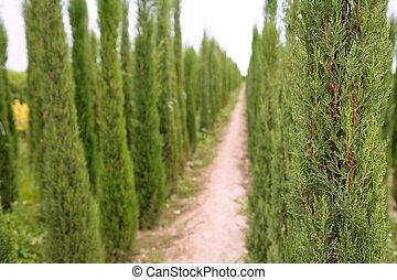 felder, bäume, landwirtschaft, dekorativ, zypresse