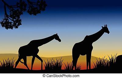 felder, gehen, giraffe, zwei