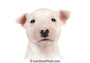 felett, fehér, terrier, portré, kutyus, furcsa, bika, kisméretű