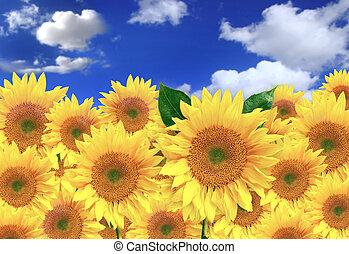 felice, girasoli, in, uno, campo, su, uno, giorno pieno sole