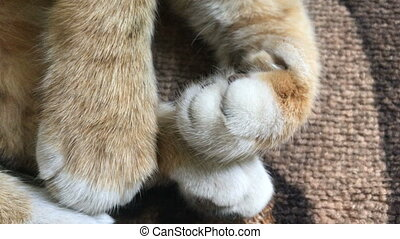 feline white legs with claws - feline fluffy white legs with...