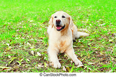 feliz, alegre, perro cobrador dorado, perro, es, mentira en la hierba, en, un, soleado, día de verano