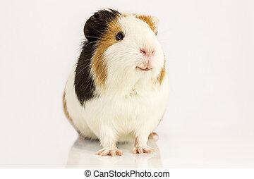 feliz, cerdo, guinea