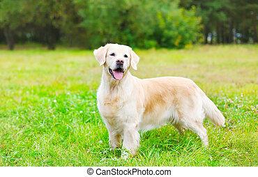 feliz, hermoso, perro cobrador dorado, perro, en, pasto o césped, en, día de verano